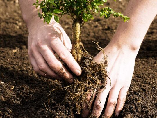 Tree Planting-Davie FL Tree Trimming and Stump Grinding Services-We Offer Tree Trimming Services, Tree Removal, Tree Pruning, Tree Cutting, Residential and Commercial Tree Trimming Services, Storm Damage, Emergency Tree Removal, Land Clearing, Tree Companies, Tree Care Service, Stump Grinding, and we're the Best Tree Trimming Company Near You Guaranteed!